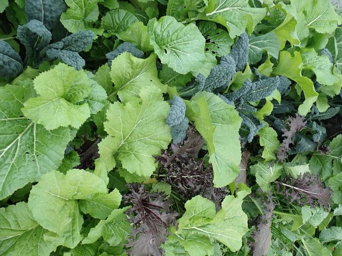 固定種のケールの自然栽培ができる神奈川の農業体験「さとやま農学校」@すどう農園