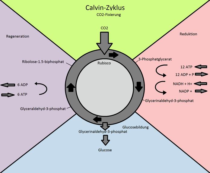 Abb. 3: Übersicht Calvin-Zyklus
