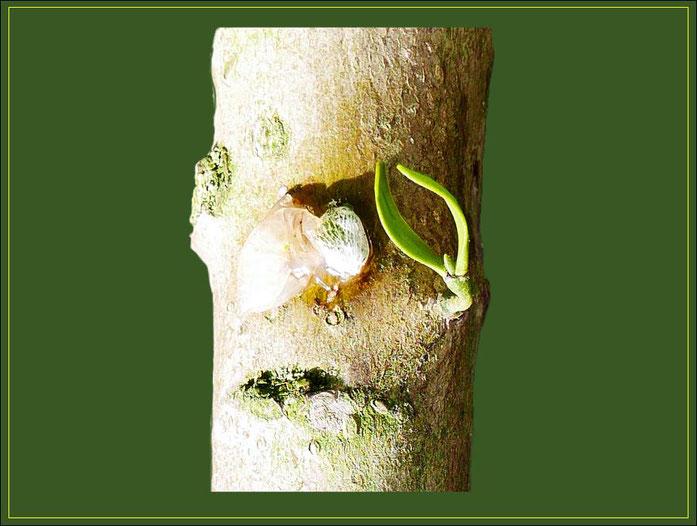 Pappelholz-Zweigstück mit angehefteten Mistel-Samen und zweijährigen, beblätterten Keimling.