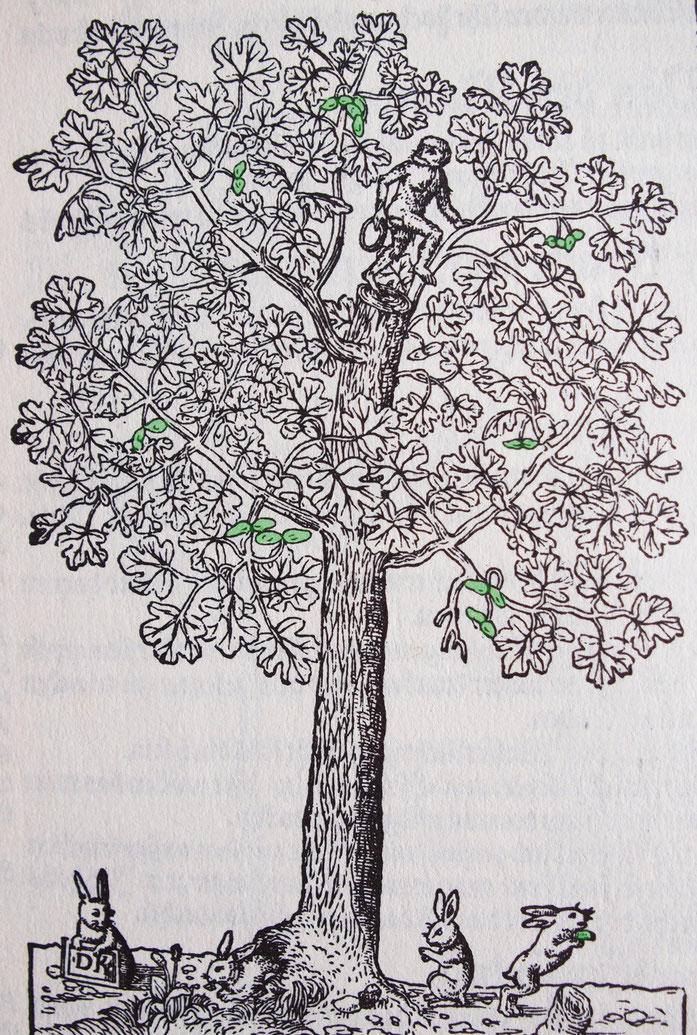 Quelle: Kreutterbuch 1577, Hieronymus Bock