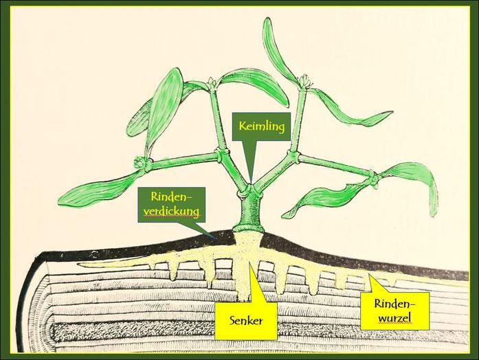 Schematische Darstellung der parasitischen Entwicklungsphase. Texterläuterung siehe oben.