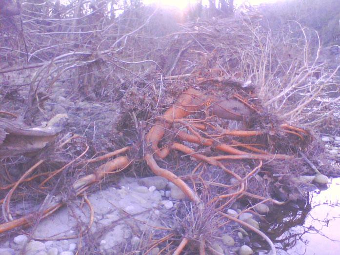 Racines rougeoyantes d un saule, tel des veines s enfoncent dans le corp de la terre