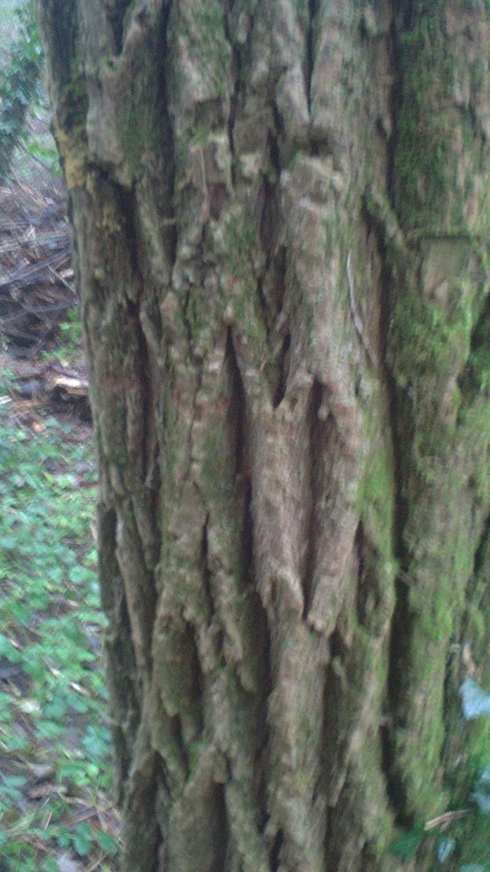 écorce d'acacia