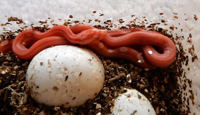 Kornnattern Sunglow, frisch geschlüpft