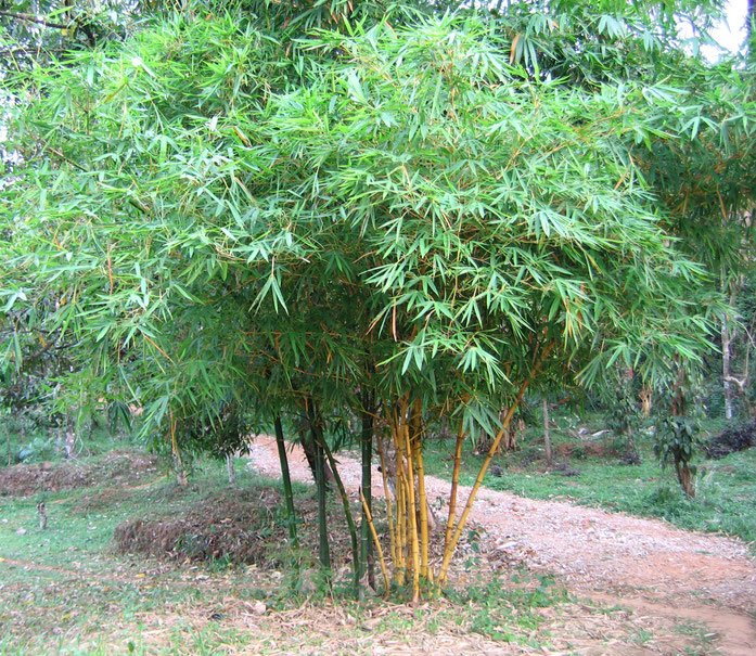 BU211F062_« Bamboo yellow small » par Vinayaraj — Travail personnel. Sous licence CC BY-SA 3.0 via Wikimedia Commons - https://commons.wikimedia.org/wiki/File:Bamboo_yellow_small.jpg#/media/File:Bamboo_yellow_small.jpg