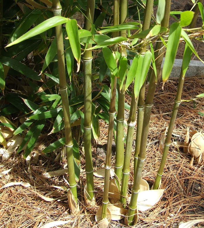 """Bamboo in ground"". Licensed under GFDL via Wikimedia Commons - https://commons.wikimedia.org/wiki/File:Bamboo_in_ground.jpg#/media/File:Bamboo_in_ground.jpg"