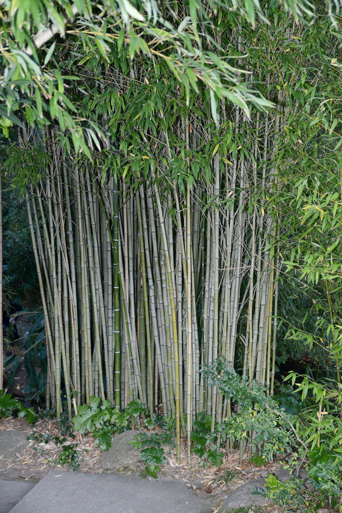 « Bamboo December 2014-1 » par Alvesgaspar — Travail personnel. Sous licence CC BY-SA 4.0 via Wikimedia Commons - https://commons.wikimedia.org/wiki/File:Bamboo_December_2014-1.jpg#/media/File:Bamboo_December_2014-1.jpg
