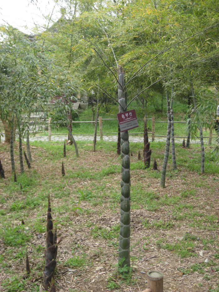 Phyllostachys pubescens var. heterocycla 龜甲竹(佛面竹) - Man-wah Leung CC2.0