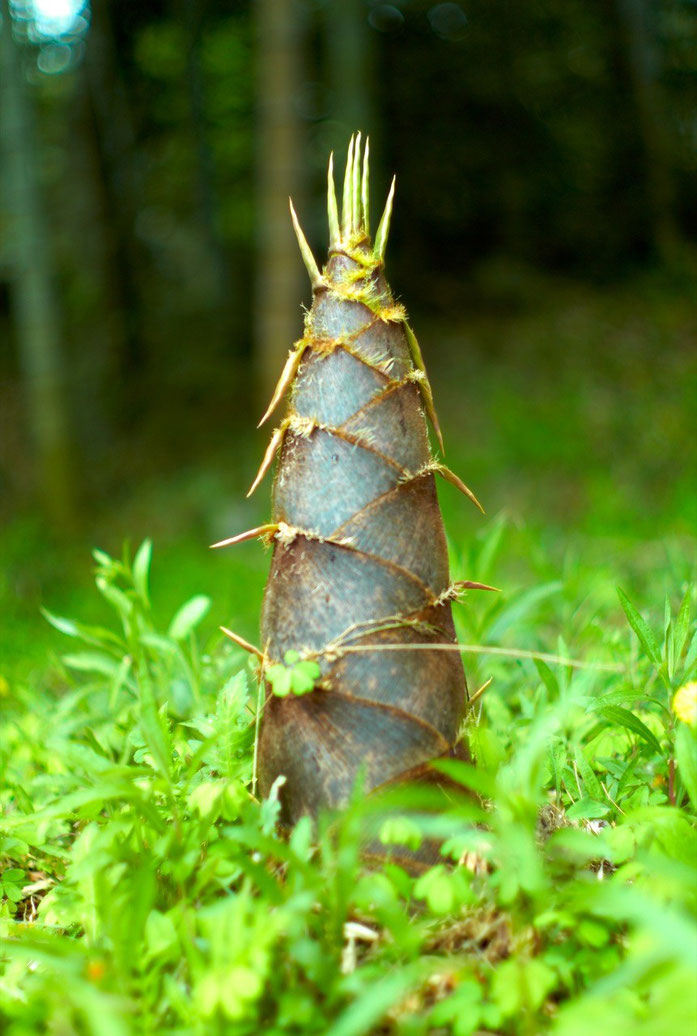 « Big Bamboo Shoot (Joi Ito) » par Joi Ito — originally posted to Flickr as Big Bamboo Shoot. Sous licence CC BY 2.0 via Wikimedia Commons - https://commons.wikimedia.org/wiki/File:Big_Bamboo_Shoot_(Joi_Ito).jpg#/media/File:Big_Bamboo_Shoot_(Joi_Ito).jpg