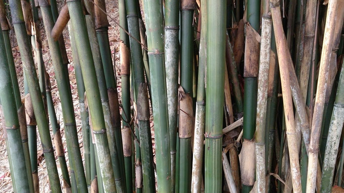 BU211F029_«Bamboo 3» par Mokkie — Travail personnel. Sous licence CC BY-SA 3.0 via Wikimedia Commons - https://commons.wikimedia.org/wiki/File:Bamboo_3.jpg#/media/File:Bamboo_3.jpg