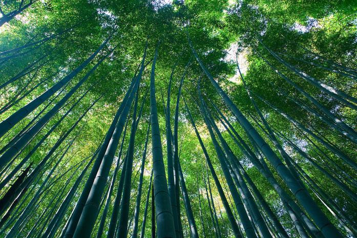 """Sagano Bamboo forest, Arashiyama, Kyoto ver.2"" by Casey Yee from Vancouver, BC, Canada - Sagano Bamboo forest, Arashiyama, Kyoto. Licensed under CC BY-SA 2.0 via Wikimedia Commons - https://commons.wikimedia.org/wiki/File:Sagano_Bamboo_forest,_Arashiyama"
