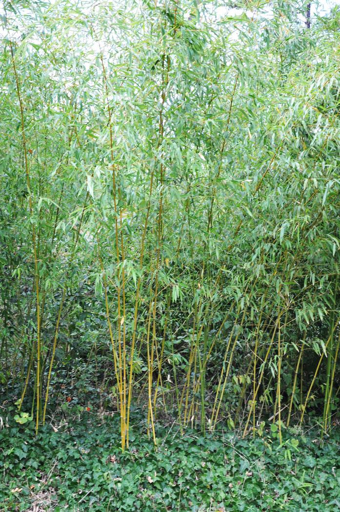 «Phyllostachys aurea Fishpole Bamboo, Golden Bamboo ოქროსფერი ბამბუკი» par Lazaregagnidze — Travail personnel. Sous licence CC BY-SA 4.0 via Wikimedia Commons - https://commons.wikimedia.org/wiki/File:Phyllostachys_aurea_Fishpole_Bamboo,_Golden_Bamboo_%