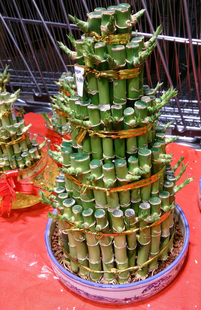 « Lucky bamboo plant » par ProjectManhattan — Travail personnel. Sous licence CC BY-SA 3.0 via Wikimedia Commons - https://commons.wikimedia.org/wiki/File:Lucky_bamboo_plant.jpg#/media/File:Lucky_bamboo_plant.jpg