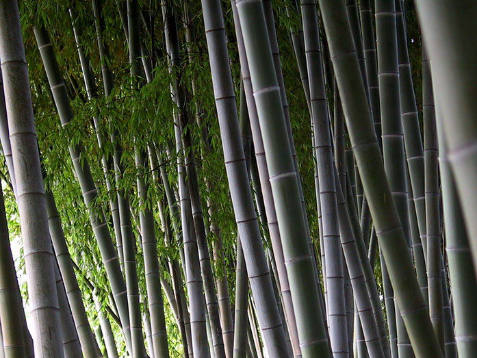 """Bamboo maze"" by junichiro AOYAMA from Kyoto, Japan - bamboo maze. Licensed under CC 表示 2.0 via ウィキメディア・コモンズ - https://commons.wikimedia.org/wiki/File:Bamboo_maze.jpg#/media/File:Bamboo_maze.jpg"