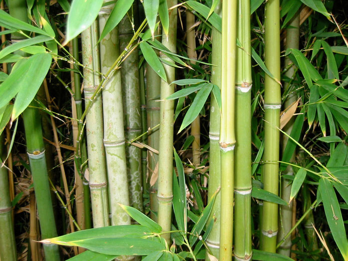 "80SN ""<a href=""https://commons.wikimedia.org/wiki/File:Bamboo_Forest.jpg#/media/File:Bamboo_Forest.jpg"">Bamboo Forest</a>"" by annieo76 (<a rel=""nofollow"" class=""external text"" href=""http://flickr.com/people/nelanah/"">Flickr profile</a>) - Original webpage"