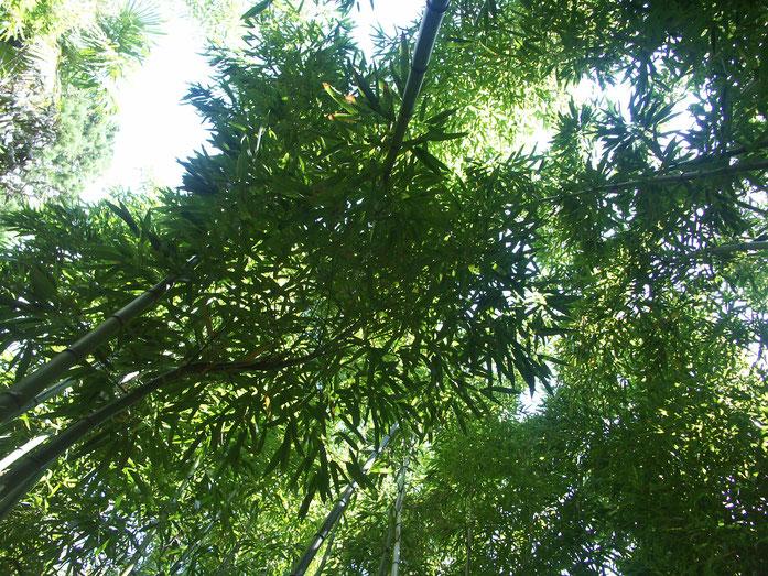 BU211F083_«Bambous vue du sol» par Mith — Travail personnel. Sous licence CC BY-SA 3.0 via Wikimedia Commons - https://commons.wikimedia.org/wiki/File:Bambous_vue_du_sol.jpg#/media/File:Bambous_vue_du_sol.jpg