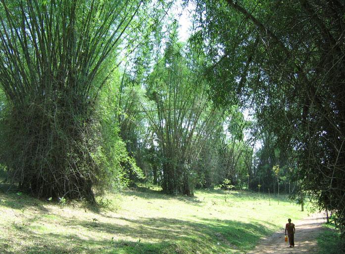 «Wayanad-Bamboo» par Vinayaraj — Travail personnel. Sous licence CC BY-SA 3.0 via Wikimedia Commons - https://commons.wikimedia.org/wiki/File:Wayanad-Bamboo.jpg#/media/File:Wayanad-Bamboo.jpg