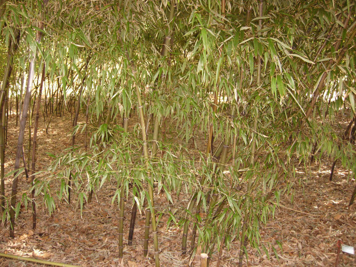 """Black Bamboo - Phyllostachys Nigra Var Punctacta - Poaceae - China - Small Group"" by Malcolm Gin - Own work. Licensed under CC BY-SA 3.0 via Wikimedia Commons - https://commons.wikimedia.org/wiki/File:Black_Bamboo_-_Phyllostachys_Nigra_Var_Punctacta_-_Po"