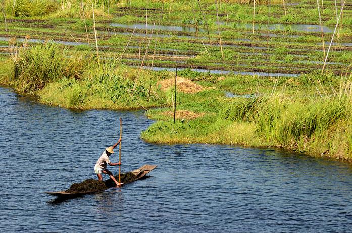 jardins flottants à base de radeau fait en bamboo, roseau et jacinthes d'eau. Ils y plantent, entre autres, des courges, des gombos, tomates et autres legumes, et même des petits arbres fruitiés comme au lac Tonle Sap