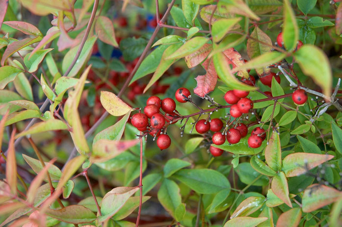 """Nandina domestica D"" by Wouter Hagens - 자작. Licensed under 퍼블릭 도메인 via 위키미디어 공용 - https://commons.wikimedia.org/wiki/File:Nandina_domestica_D.jpg#/media/File:Nandina_domestica_D.jpg"