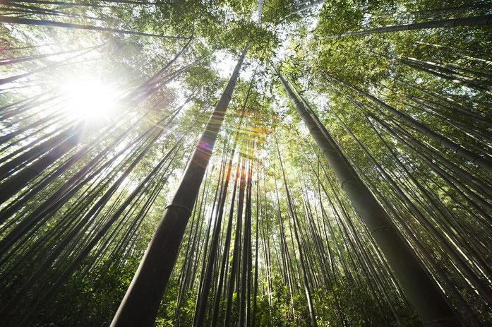 bambou géant _ foret de bambou _ chaulme de bambou
