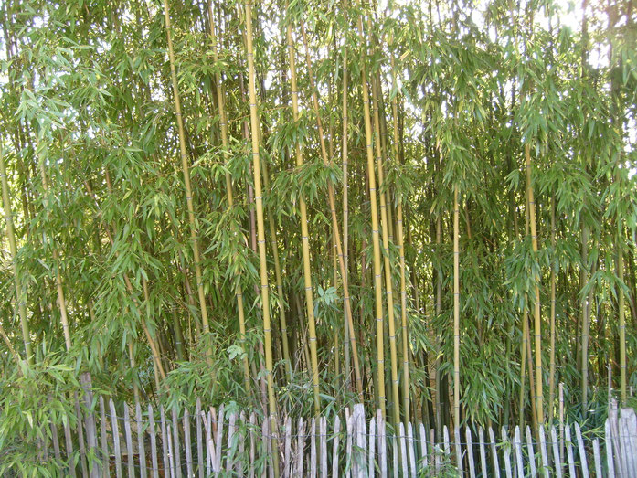 BU211F065_« Bamboo-blossom-fence-genay-france » par François Obada — Travail personnel. Sous licence CC BY 2.5 via Wikimedia Commons - https://commons.wikimedia.org/wiki/File:Bamboo-blossom-fence-genay-france.jpg#/media/File:Bamboo-blossom-fence-genay-fra