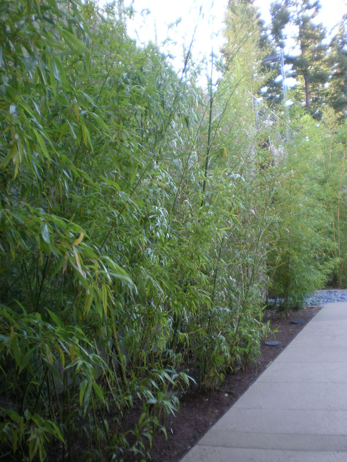 « VMware HQ campus bamboo » par BrokenSphere — Travail personnel. Sous licence CC BY-SA 3.0 via Wikimedia Commons - https://commons.wikimedia.org/wiki/File:VMware_HQ_campus_bamboo.JPG#/media/File:VMware_HQ_campus_bamboo.JPG