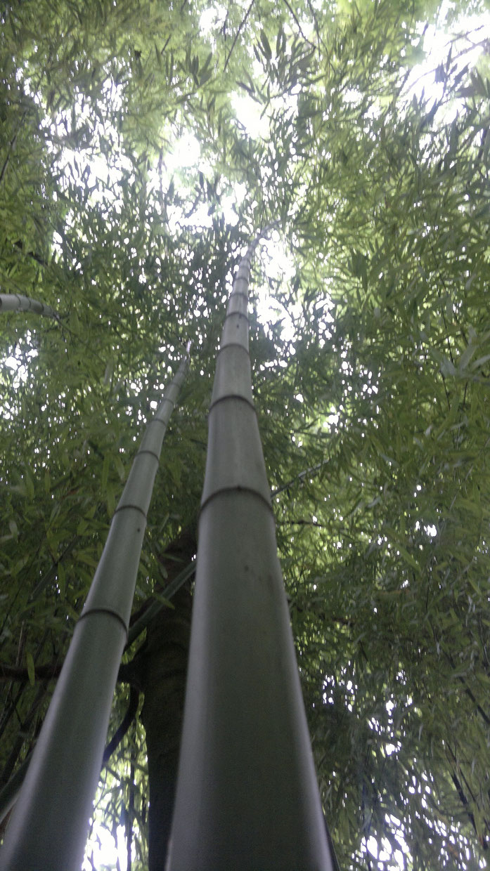 « Bamboo bambou bambuseae phyllostachys VAN DEN HENDE ALAIN CC-BY-SA-4 0 210520142095 » par Alain Van den Hende — Travail personnel. Sous licence CC BY-SA 4.0 via Wikimedia Commons - https://commons.wikimedia.org/wiki/File:Bamboo_bambou_bambuseae_phyllost