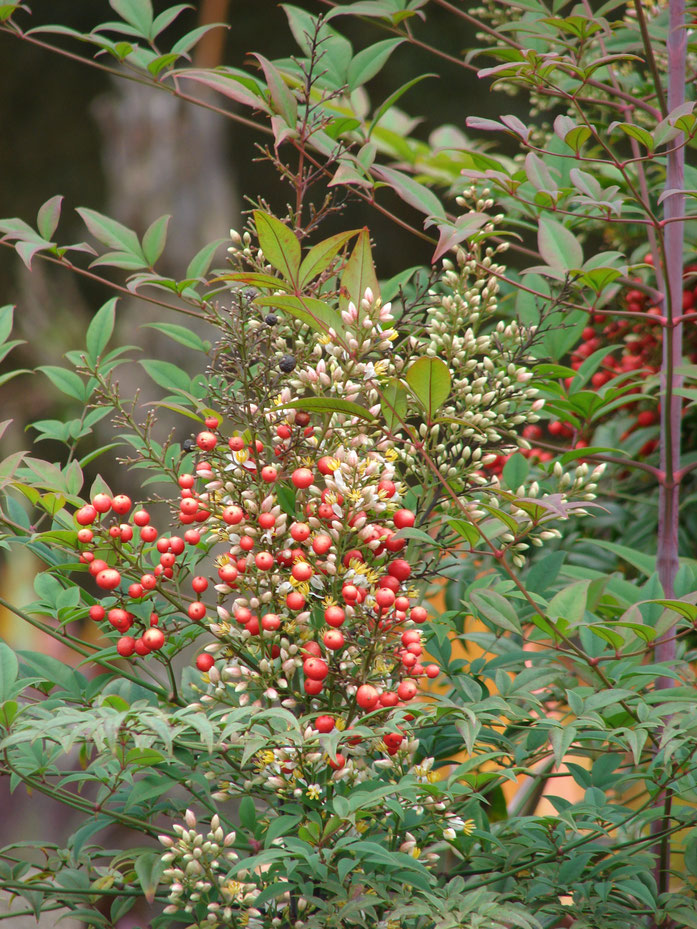 """Starr 070621-7407 Nandina domestica"" by Forest & Kim Starr. Licensed under CC 表示 3.0 via ウィキメディア・コモンズ - https://commons.wikimedia.org/wiki/File:Starr_070621-7407_Nandina_domestica.jpg#/media/File:Starr_070621-7407_Nandina_domestica.jpg"