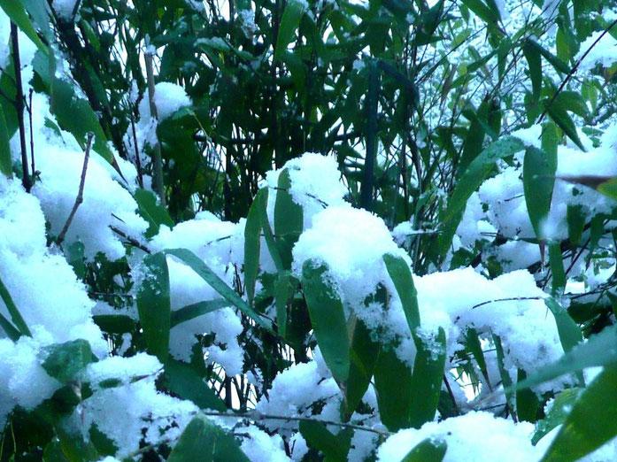 """""""Phyllostachys Nigra in the snow April 2008"""" của Paul Smith – Tác phẩm do chính người tải lên tạo ra, phát hành theo giấy phép GFDL do Wikimedia Commons - https://commons.wikimedia.org/wiki/File:Phyllostachys_Nigra_in_the_snow_April_2008.jpg#/media/File:P"""