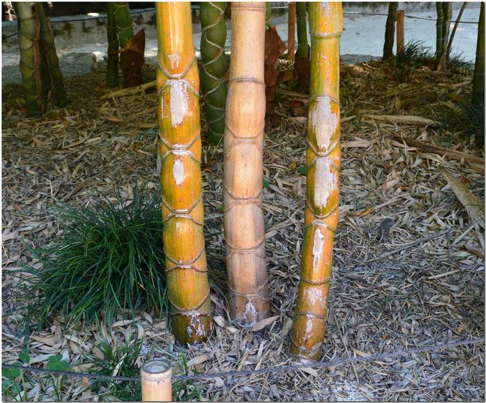 Bambou en carapace de tor) tue Phyllostachys pubescens (kikko).- gillyan9 CC2.0