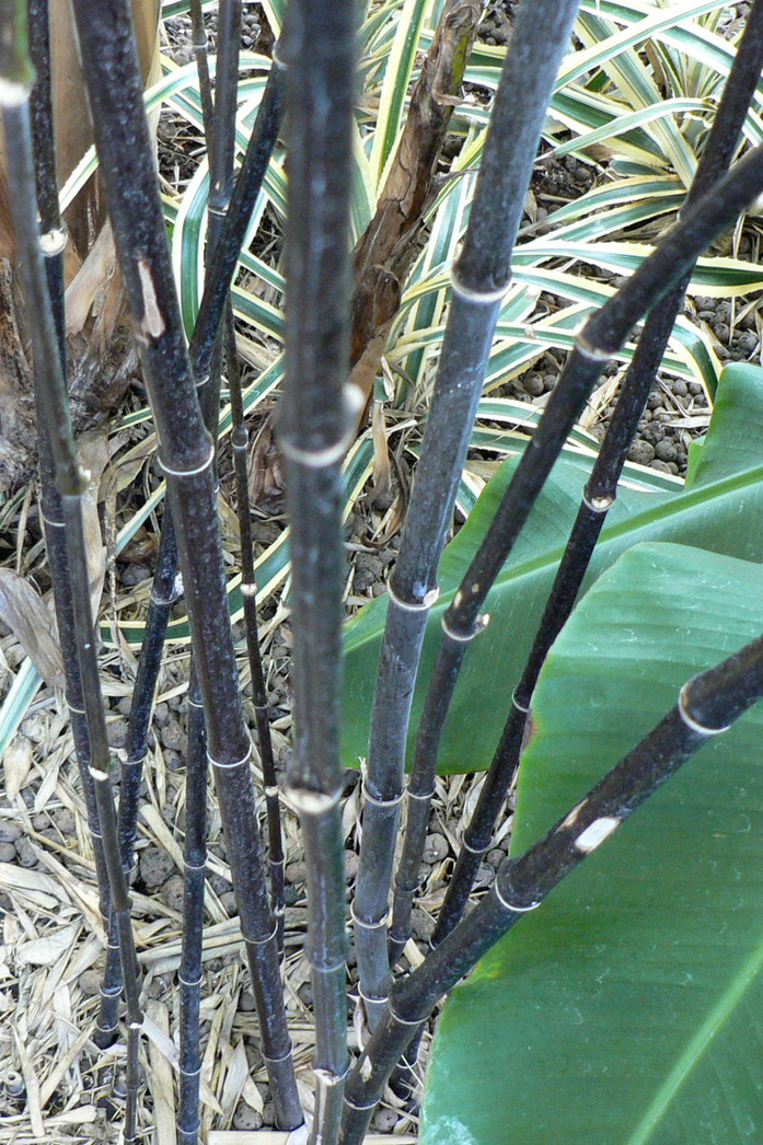 """Black Bamboo Stems"" von No machine readable author provided. Rob Cowie assumed (based on copyright claims). - No machine readable source provided. Own work assumed (based on copyright claims).. Lizenziert unter CC BY-SA 3.0 über Wikimedia Commons - https"