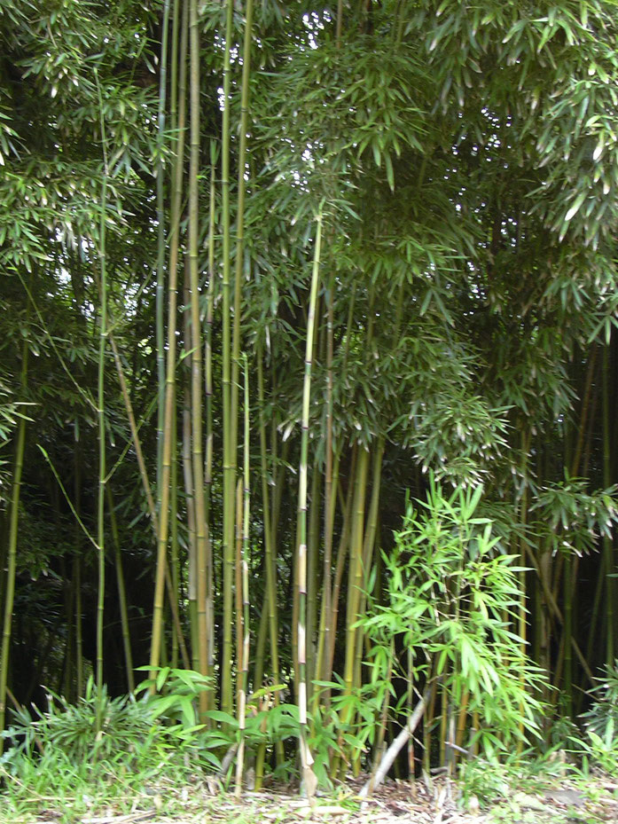 """Starr 030807-0022 Phyllostachys nigra"" của Forest & Kim Starr, phát hành theo giấy phép CC BY 3.0 do Wikimedia Commons - https://commons.wikimedia.org/wiki/File:Starr_030807-0022_Phyllostachys_nigra.jpg#/media/File:Starr_030807-0022_Phyllostachys_nigra.j"