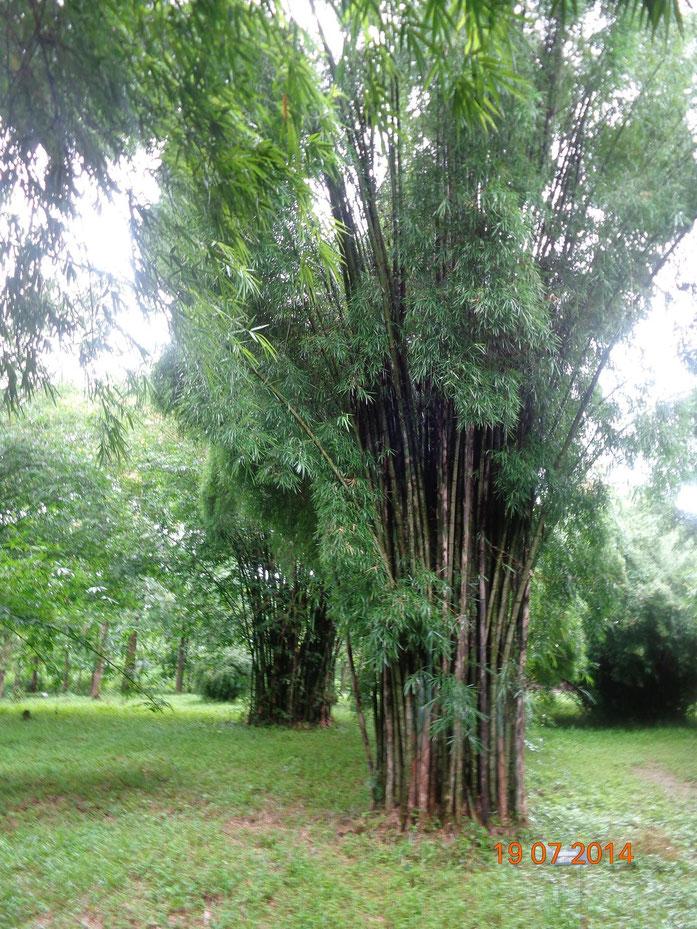 "Dvellakat - സ്വന്തം സൃഷ്ടി സൃഷ്ടിച്ച ""Bambusa affinis"". വിക്കിമീഡിയ കോമൺസ് - https://commons.wikimedia.org/wiki/File:Bambusa_affinis.JPG#/media/File:Bambusa_affinis.JPG വഴി സി.സി. ബൈ-എസ്.എ. 4.0 ഉപയോഗാനുമതി നൽകിയിരിക്കുന്നു"