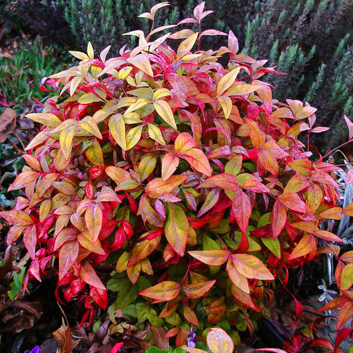 """Plant-nandina-domestica-IMGP1261reduced"". Licensed under Public Domain via Wikipedia - https://en.wikipedia.org/wiki/File:Plant-nandina-domestica-IMGP1261reduced.jpg#/media/File:Plant-nandina-domestica-IMGP1261reduced.jpg"