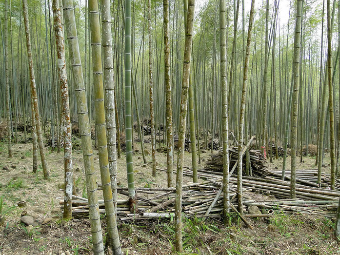 « Bamboo forest, Taiwan » par Bernard Gagnon — Travail personnel. Sous licence CC BY-SA 3.0 via Wikimedia Commons - https://commons.wikimedia.org/wiki/File:Bamboo_forest,_Taiwan.jpg#/media/File:Bamboo_forest,_Taiwan.jpg