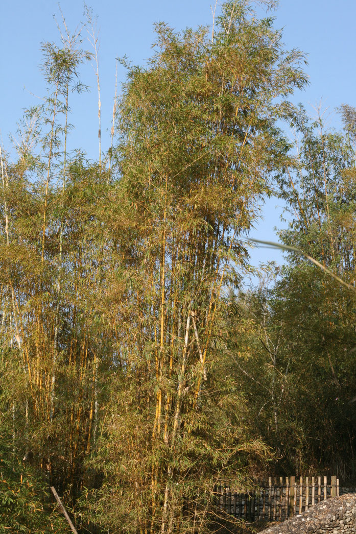 Phyllostachys pubescens var. pubescens (Moso Bamboo) - cultivated - Arthur Chapman ELUDIS CC20