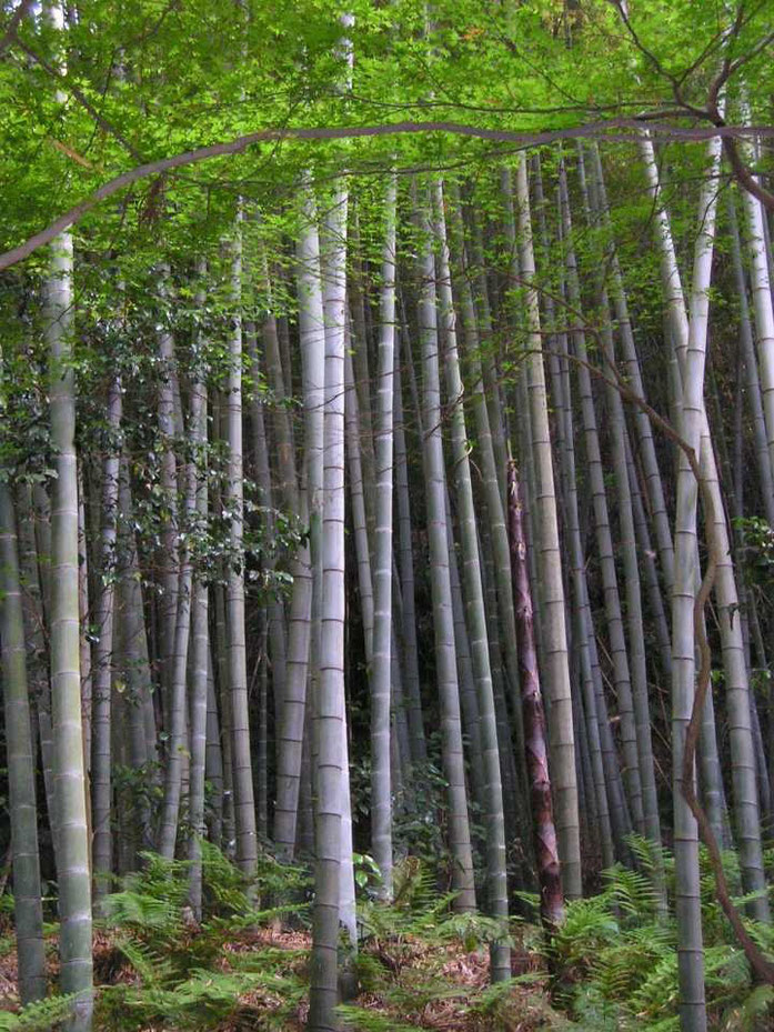 """Bamboo forest"". Licensed under CC BY-SA 3.0 via ويكيميديا كومنز - https://commons.wikimedia.org/wiki/File:Bamboo_forest.jpg#/media/File:Bamboo_forest.jpg"