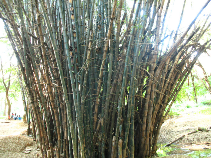 BU211F007_« 51- Bamboos » par Kalakki at ml.wikipedia — Transferred from ml.wikipedia; transferred to Commons by User:Sreejithk2000 using CommonsHelper.. Sous licence CC BY-SA 2.5 via Wikimedia Commons - https://commons.wikimedia.org/wiki/File:51-_Bamboos