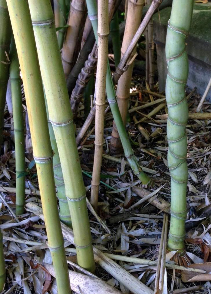 « Phyllostachys-écaille-tortue » par Abrahami — Travail personnel. Sous licence CC BY-SA 3.0 via Wikimedia Commons - https://commons.wikimedia.org/wiki/File:Phyllostachys-%C3%A9caille-tortue.JPG#/media/File:Phyllostachys-%C3%A9caille-tortue.JPG