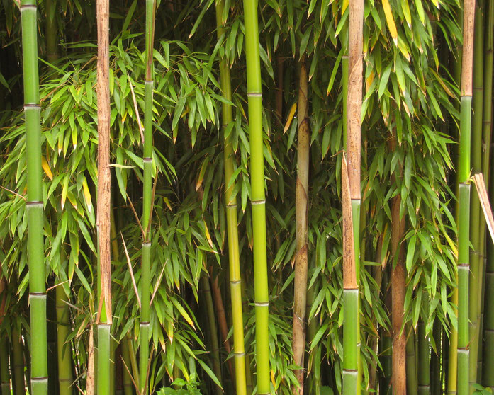 BU211F050_« Bamboo Richelieu » par I, Manfred Heyde,. Sous licence CC BY-SA 3.0 via Wikimedia Commons - https://commons.wikimedia.org/wiki/File:Bamboo_Richelieu.jpg#/media/File:Bamboo_Richelieu.jpg