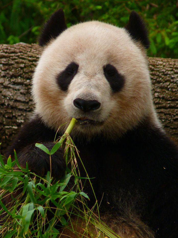 """Giant Panda eating Bamboo"" by Manyman - 投稿者自身による作品. Licensed under CC 表示-継承 3.0 via ウィキメディア・コモンズ - https://commons.wikimedia.org/wiki/File:Giant_Panda_eating_Bamboo.JPG#/media/File:Giant_Panda_eating_Bamboo.JPG"