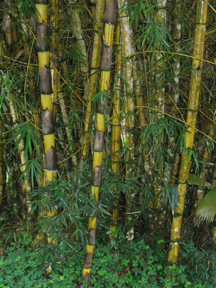 """""""Giant Bamboo"""" di Scotteaux - Opera propria. Con licenza Pubblico dominio tramite Wikimedia Commons - https://commons.wikimedia.org/wiki/File:Giant_Bamboo.jpg#/media/File:Giant_Bamboo.jpg"""