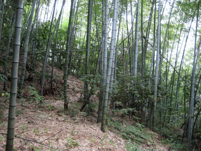 """Bamboo at Huang Shan IMG 2820b"" naudotojo Mätes II. - Mano darbas. Licencijuotas kaip CC BY-SA 3.0 iš Wikimedia Commons - https://commons.wikimedia.org/wiki/File:Bamboo_at_Huang_Shan_IMG_2820b.jpg#/media/File:Bamboo_at_Huang_Shan_IMG_2820b.jpg svetainės"