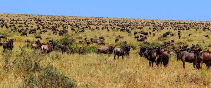 Riserva Masai Mara, Kenya. Gnu (Wildebeest) durante la grande migrazione.