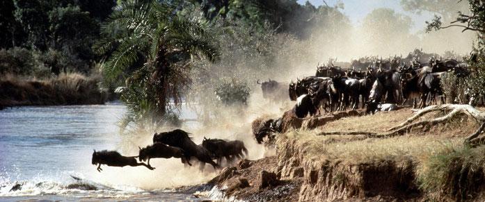 Serengeti. Gnu attraversano il Mara