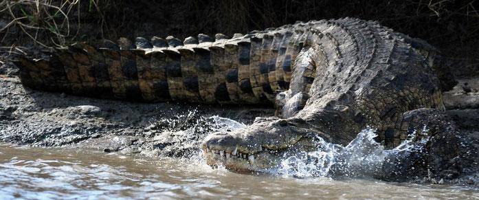 Tana River. Coccodrillo del Nilo - Kenya