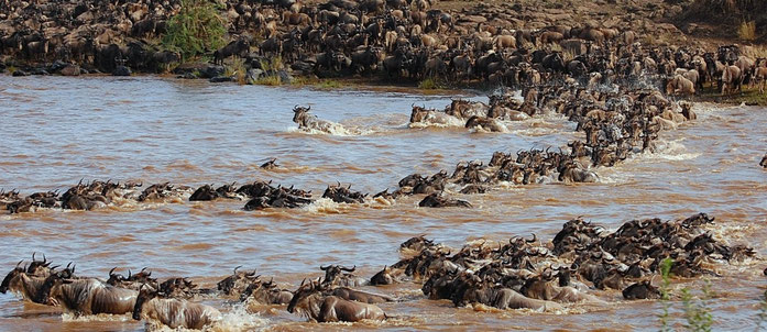Gnu - Mara River crossing