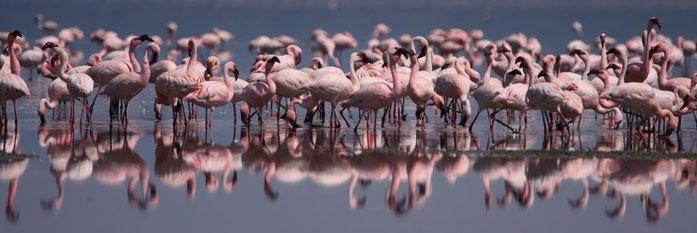 Fenicotteri rosa - Lago Nakuru Kenya