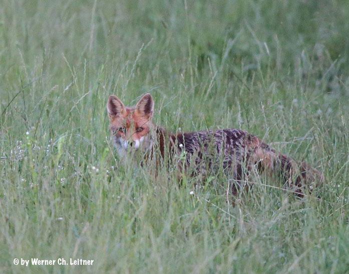 Fallenkurse - Fuchs